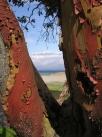 My favourite tree: the arbutus