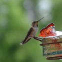 and watching the hummingbirds