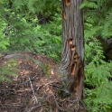 holes, carved out by (probably) Pileated Woodpeckers
