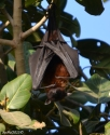 DSC_0112-Bal Samand Palace-flying fox