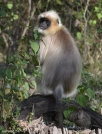 DSC_0255-langur in Tholpetty
