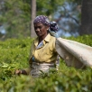 Tea picker