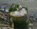 Nijl ganzen (Egyptian geese)