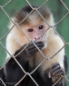 Capuchin monkeys, also called white-faced monkeys, occupy the wet lowland forests on Caribbean coast of Costa Rica and Panama and deciduous dry forest on the Pacific coast.