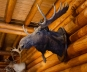 The moose in the dining room of the Num-Ti-Jah Lodge