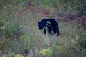 Bad photo but proof that we did see a bear ;-)