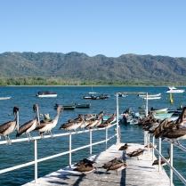 Brown Pelicans_Pelecanus occidentalis