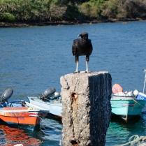 Black Vulture_Coragyps atratus