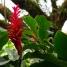 Red Ginger-Alpinia purpurata