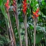 Lobster Claw- Heliconia wagnerina