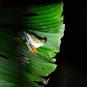 DSC_0556_Gaudy Leaf Frog-wp