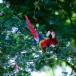 Scarlet Macaw_Ara macao