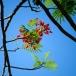 Flamboyant tree-Malinche delonix