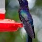 Violet Sabrewing_Campylopterus hemileucurus