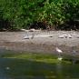 Ibis-Little blue heron